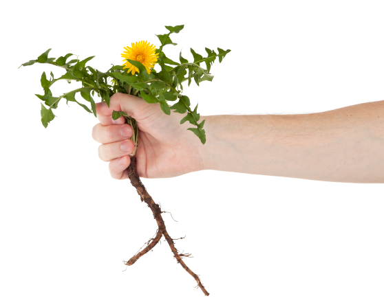 Hand holding dandelion roots no background